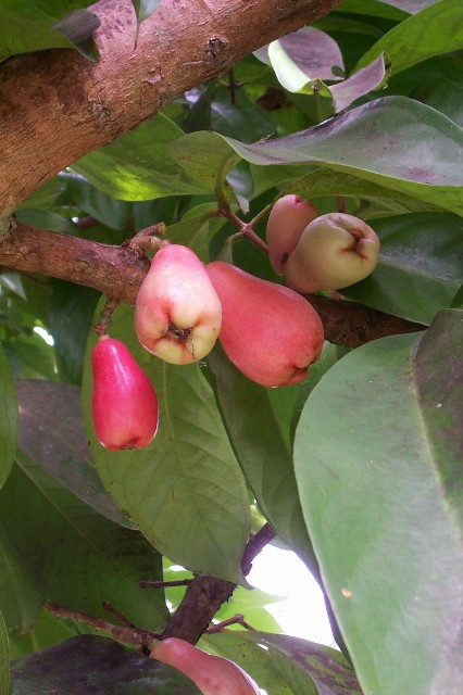 surinamefruit.jpg